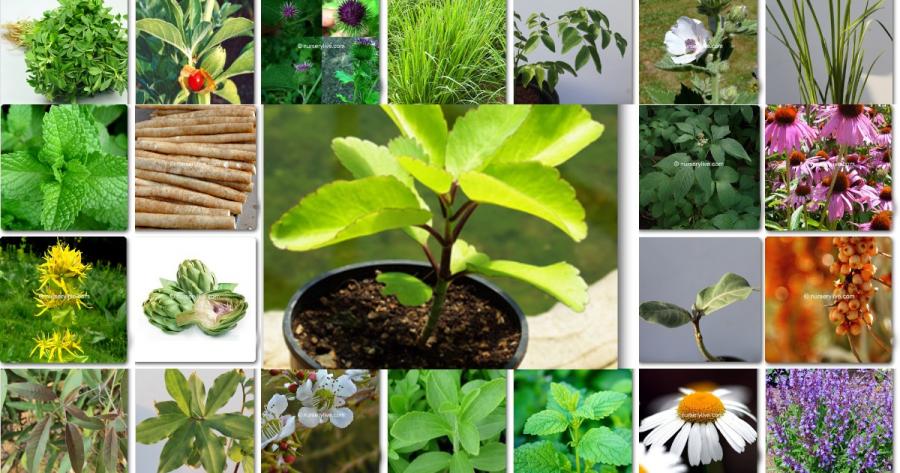Top 10 Best Medicinal Plants
