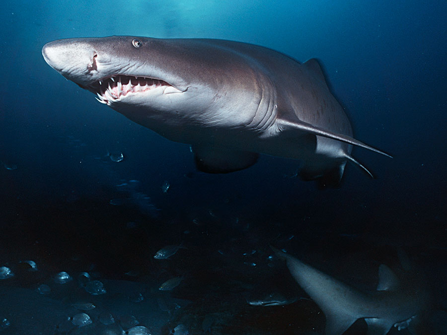 Top 10 Interesting Facts About Sharks